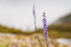 Anarrhinum bellidifolium - Peneda Gerês