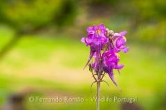 Linaria triornithophora - Peneda Gerês