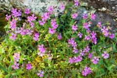 Silene acutifolia - Peneda Gerês