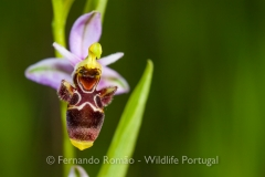 Orchid (Ophrys scolopax)