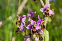 Orchid (Ophrys tenthredinifera)