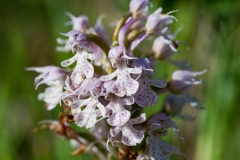 Orchid (Orchis conica)