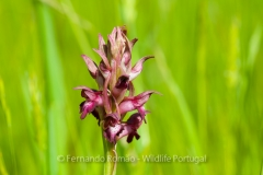 Orchid (Orchis coriophora)