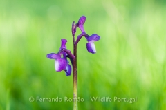Orchid (Orchis morio)
