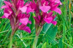 Orchid (Orchis papilionacea)