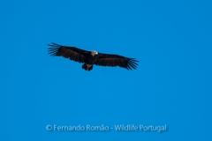 Eurasian Black Vulture (Aegypius monachus)
