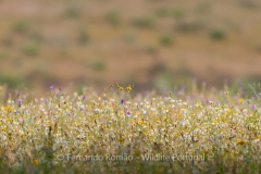 Flowering field at Tejo Internacional Nature Park