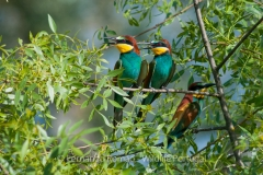 European Beee-eater (Merops apiaster)