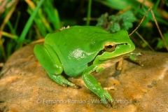 Stripless Tree Frog (Hyla meridionalis)