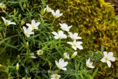 Arenaria montana montana