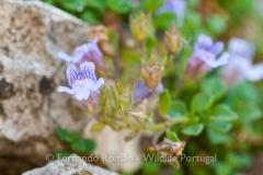 Chaenorhinum origanifolium origanifolium