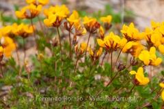 Lotus corniculatus subsp. carpetanus
