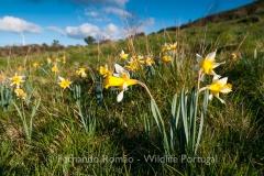 Narcissus pseudonarcissus nobilis