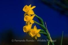 Narcissus scaberulus